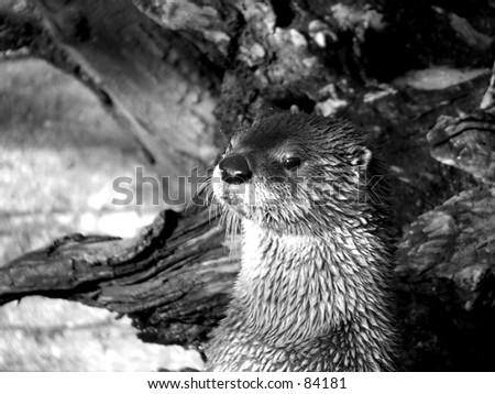 river otter head black and white - stock photo