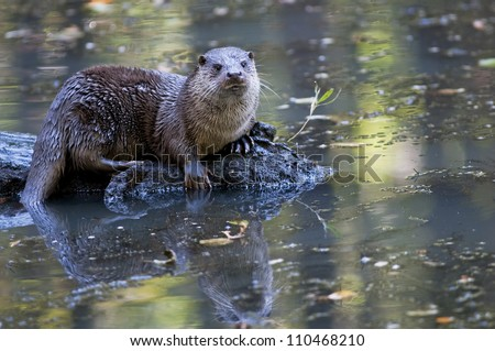 River otter sitting on a wet trunk (lutra lutra)