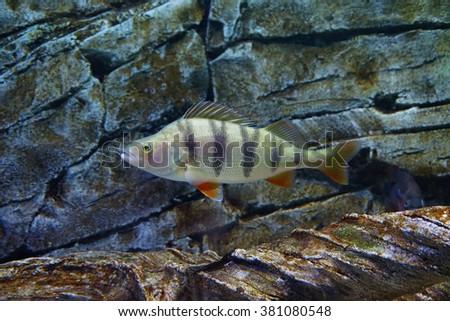 River perch (Perca fluviatilis) in their natural habitat  - stock photo