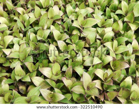 river spiderwort or small-leaf spiderwort. (Tradescantia fluminensis) Herb Hemp Thailand - stock photo