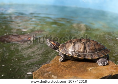 River turtle is basking in the sun next to the water