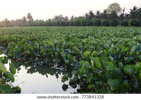 river with lotus