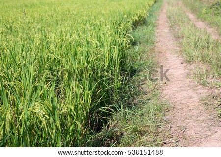 Road go to the rice field