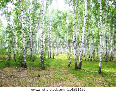 road in the birch forest - stock photo
