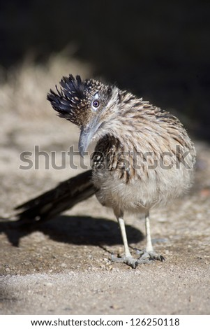 Roadrunner with head turned