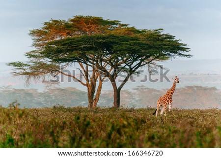 roaming giraffe - stock photo