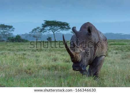roaming rhino - stock photo