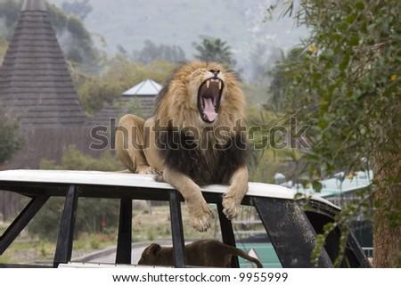 Roar - stock photo