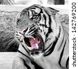 Roar tiger White - stock photo