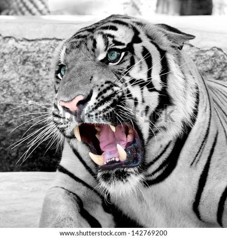 Roar tiger White - stock photo