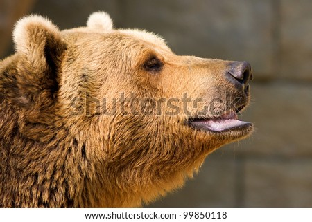 Roaring brown bear closeup - stock photo