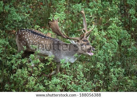 Roaring fallow deer, Dama dama - stock photo