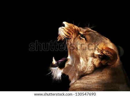 Roaring Lion - stock photo