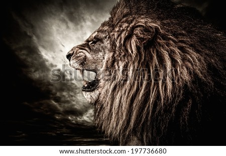 Roaring lion against stormy sky  - stock photo