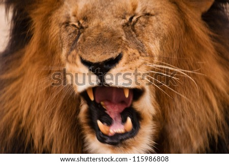 Roaring lion near Kruger National Park, South Africa - stock photo