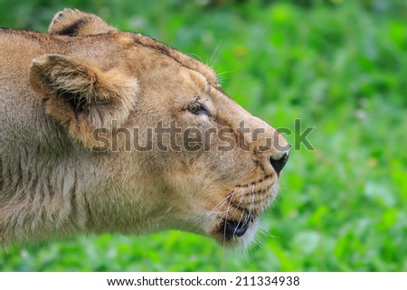 roaring lioness - stock photo