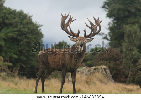 Roaring Red Stag With Huge Rack - stock photo