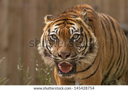 Roaring sumatran tiger  - stock photo