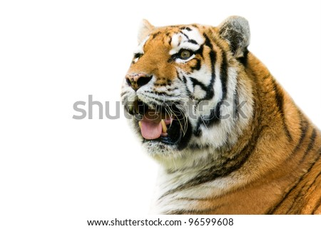 Roaring tiger - isolated on white background - stock photo