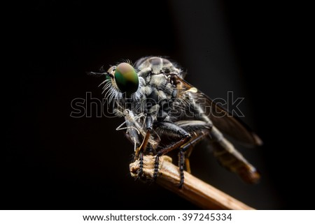 Robber fly - stock photo