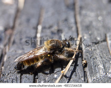 Robber fly (Diptera) sitting on burnt trunk