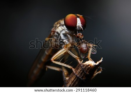 Robber fly, Insect in thailand, Found at Kanchanaburi Province