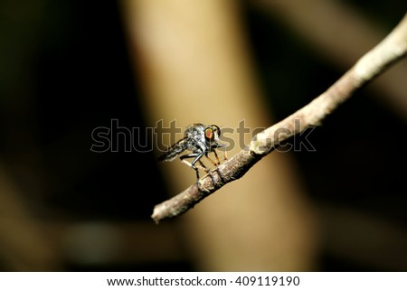 Robber fly insect macro - stock photo