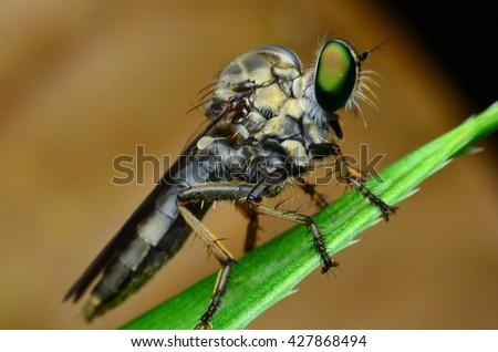 Robber Fly on alovera - stock photo