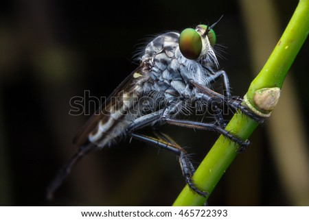 Robber fly on tree branches.