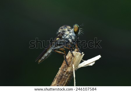 Robber Fly On Twig
