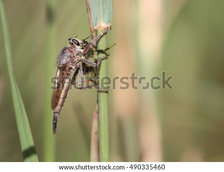 Robber Fly with prey Bumble bee