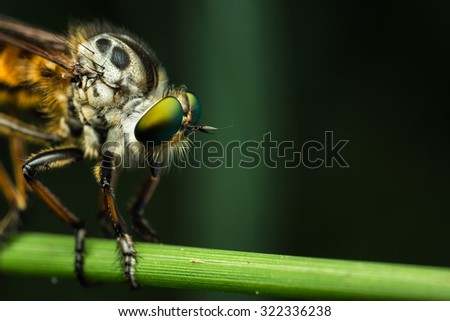Robberfly trios elegant in the forest. - stock photo