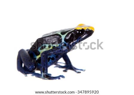Robertus dyeing poison dart frog, Dendrobates tinctorius, isolated on white background - stock photo