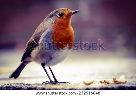 Robin about to feed on dried mealworms in an urban garden on a damp and cold winter day. - stock photo
