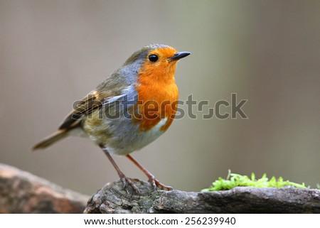 Robin bird on branch - stock photo
