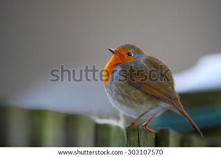 Robin bird on fence - stock photo