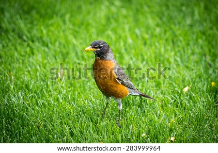 Robin bird on on grass in spring