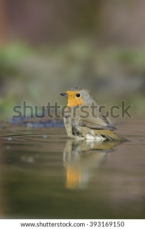 Robin bird sitting in the water - roodborst - erithacus rubecula  - stock photo