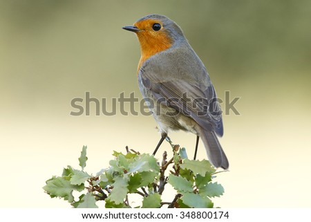Robin, (Erithacus rubecula) in the branch after the bath - stock photo