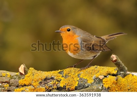 Robin (Erithacus rubecula) on the branch with lichen