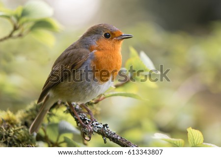 Robin Bird Stock Images, Royalty-Free Images & Vectors ...