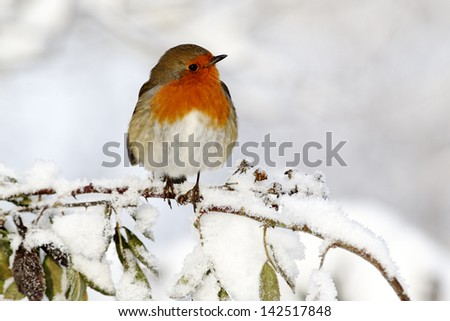 Robin, Erithacus rubecula, single bird in snow, West Midlands, December 2010 - stock photo