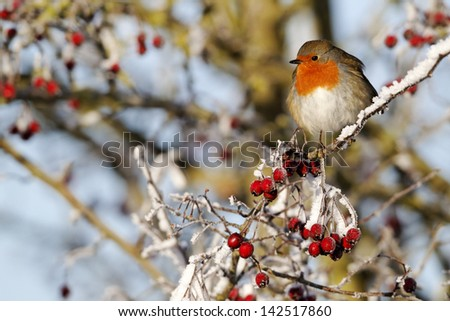 Robin, Erithacus rubecula, single bird on frosty berries, Midlands, December 2010