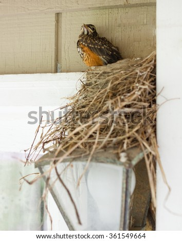 Robin Fledgling Getting Ready to Take the Plunge From Its Nest. - stock photo