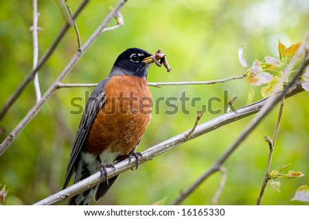 robin holding worm - stock photo