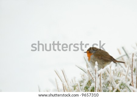 Robin in frozen grass, isolated over white - stock photo