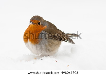 robin in snow with fluffed up feathers