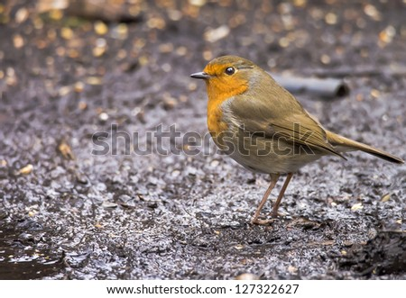 Robin in the mud