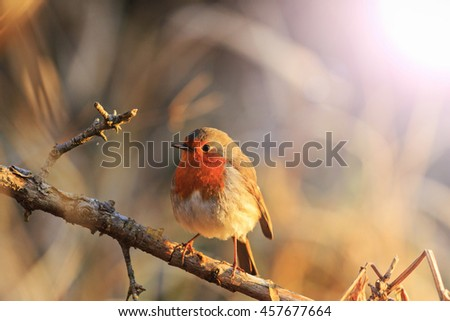robin in the rays of the rising sun with sunny ,symbol of Christmas, Symbol UK - stock photo