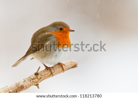 Robin in winter snow, on a branch, looking right